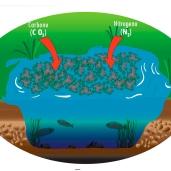 Captura el Nitrógeno atmosferico y el gas Carbonico.